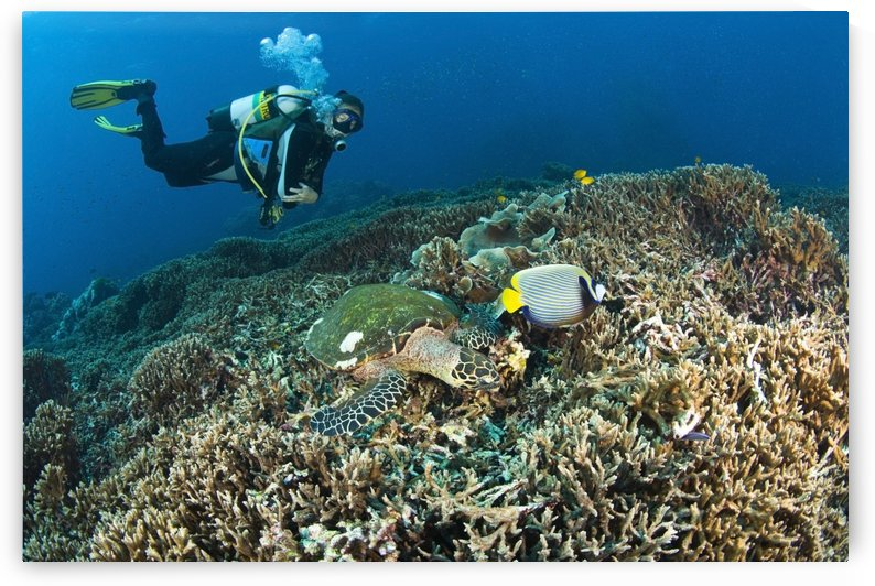 Similan Islands Thailand; Scuba Diver Over A Hawksbill Turtle (Eretmochelys Imbricata) And Angelfish by PacificStock