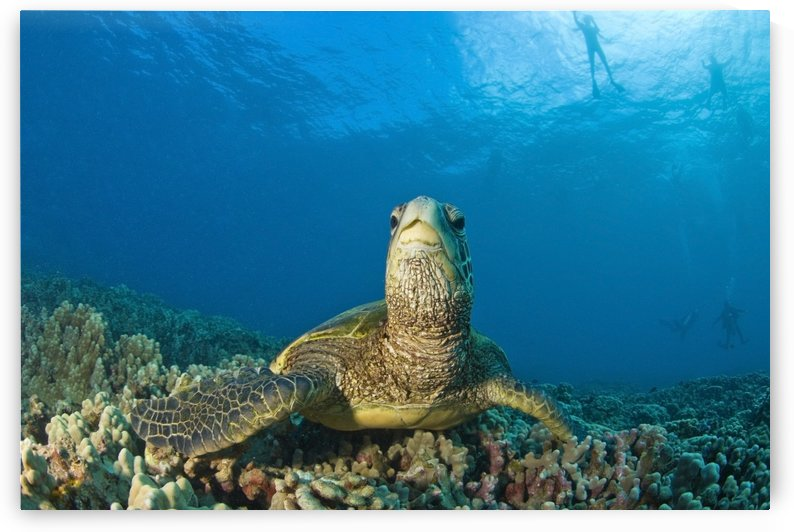Maui Hawaii Usa; Green Sea Turtle Cleaning Station by PacificStock