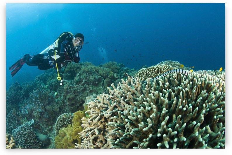 Sea Krait And Scuba Diver, Apo Island Marine Park, Philippines by PacificStock