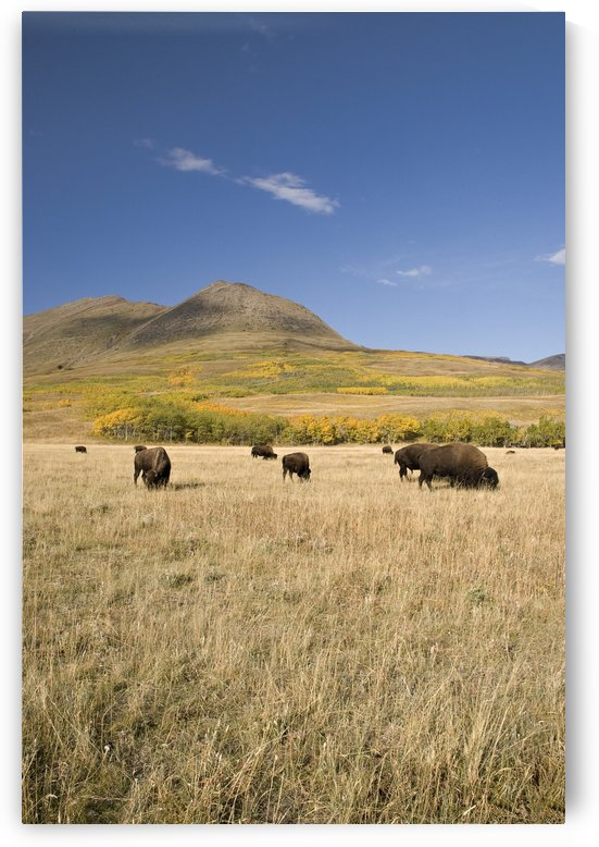 American Bison (Bison Bison), Southern Alberta, Canada by PacificStock