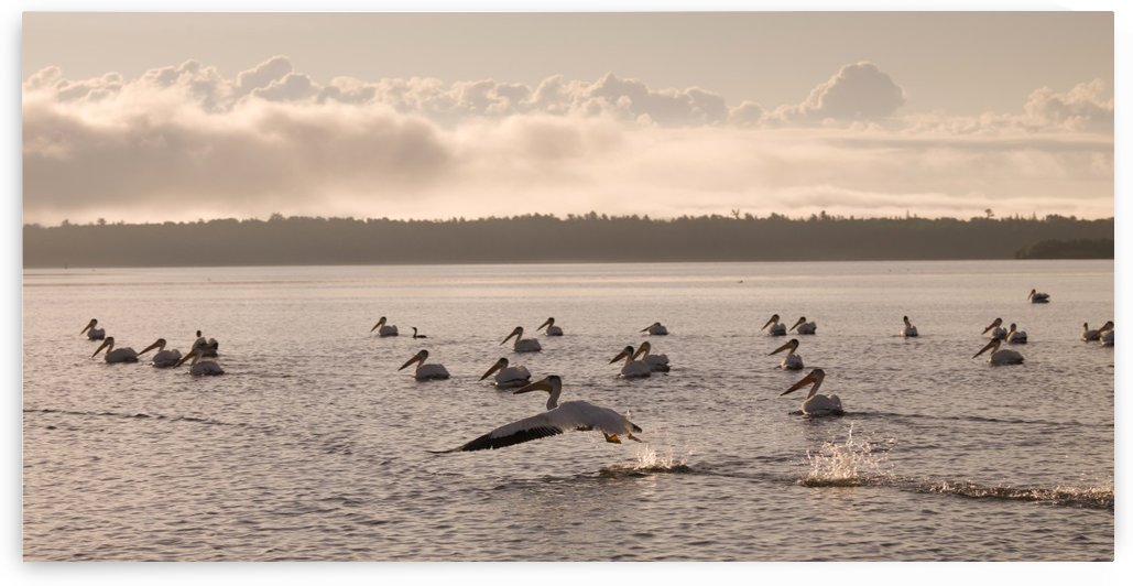 Lake Of The Woods, Ontario, Canada; Pelicans Floating On A Lake by PacificStock