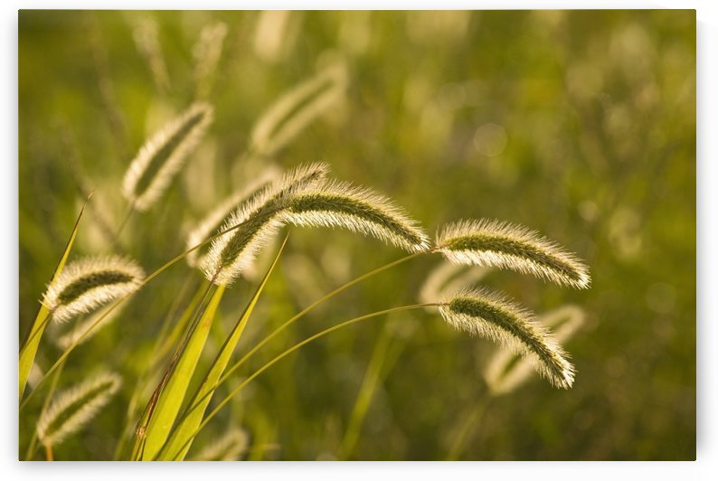 Wild Grass by PacificStock