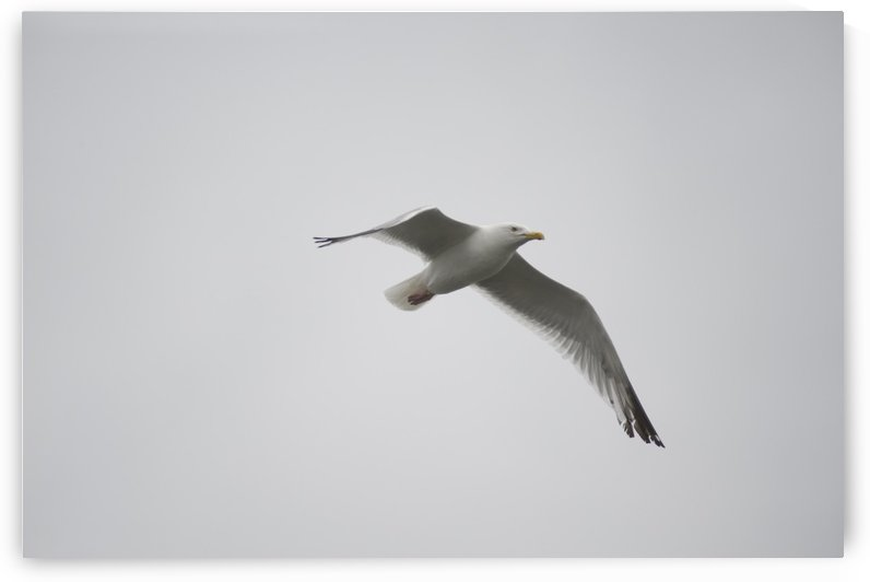 Lake Of The Woods, Ontario, Canada; Gulls Over The Lake by PacificStock