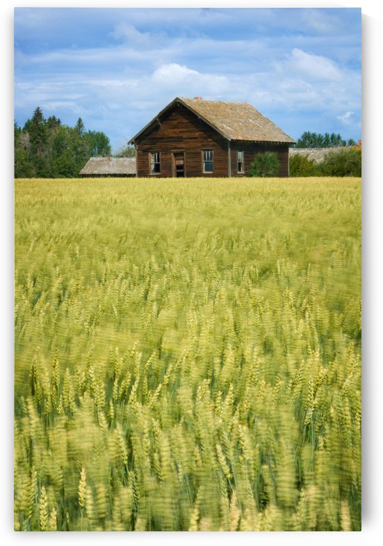 Farmhouse And Wheat Field, Calmar, Alberta, Canada by PacificStock