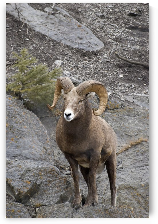 Bighorn Sheep (Ovis Canadensis) by PacificStock