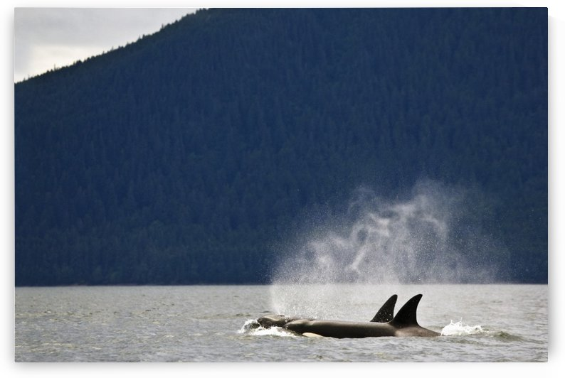 Killer Whales, Alaska, Usa by PacificStock