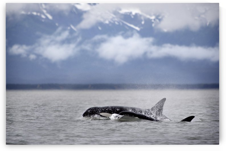 Killer Whales, Alaska by PacificStock