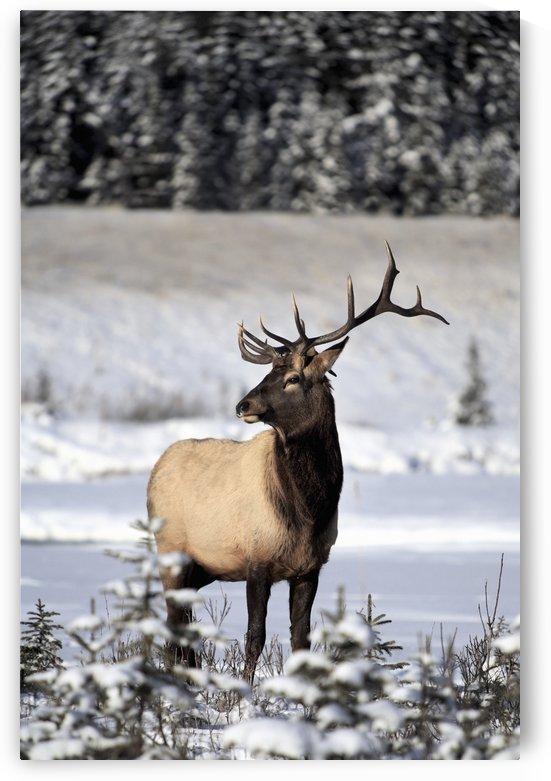 Elk (Cervus Canadensis); Bull Elk During Winter by PacificStock