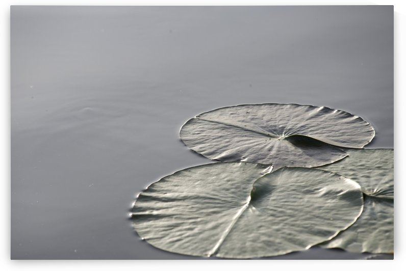 Large Lily Pads On Lake, Lake Of The Woods, Ontario, Canada by PacificStock