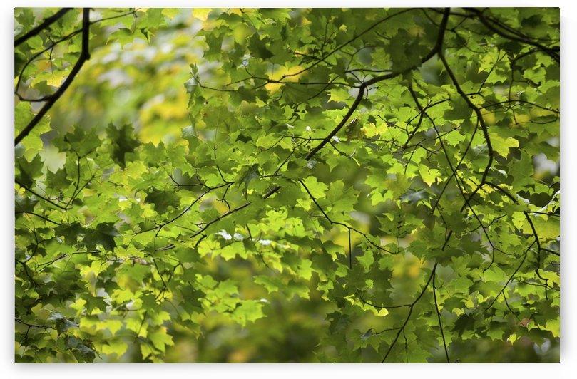 Leafy Branches, Muskoka, Ontario, Canada by PacificStock