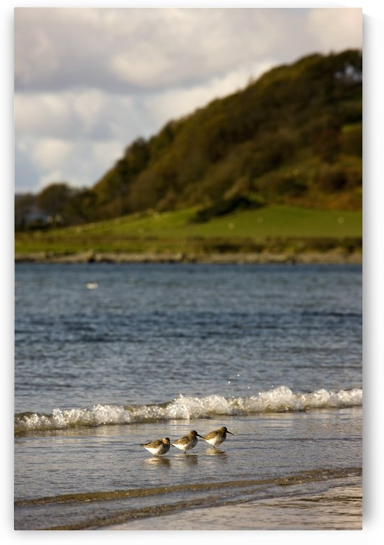Three Birds In The Water At The Shore by PacificStock