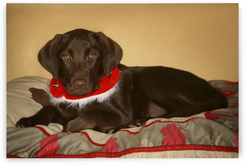 Dog With Christmas Collar by PacificStock