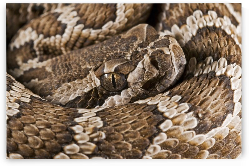 Southern Pacific Rattlesnake, (Crotalus Oreganus Helleri), San Jacinto Mountains, California, United States Of America by PacificStock
