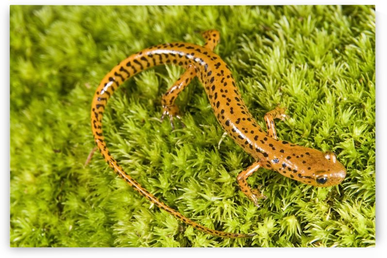 Longtail Salamander (Eurycea Longicauda) by PacificStock