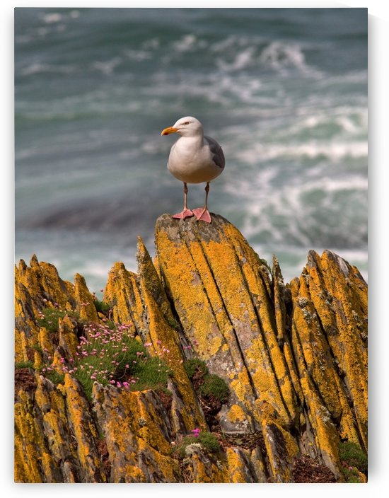 A Herring Gull, Colonsay, Scotland by PacificStock