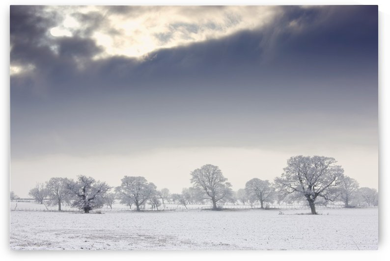 Snow Covered Trees And Field, Northumberland, England by PacificStock