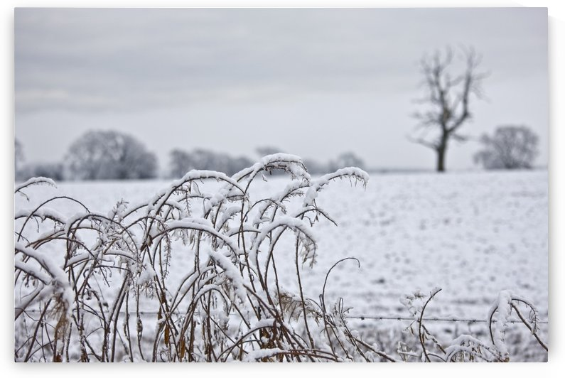 Snow Covered Trees And Field by PacificStock