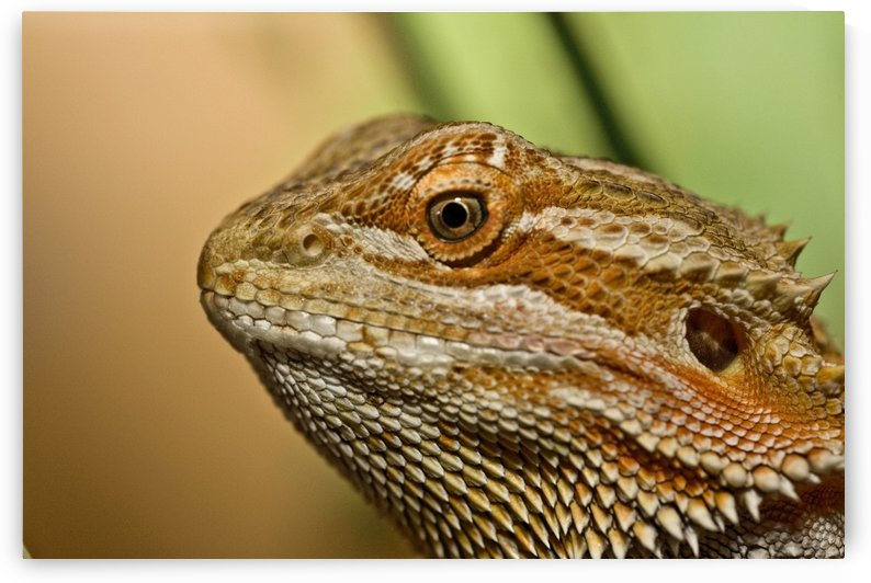 Bearded Dragon Lizard (Pogona) by PacificStock
