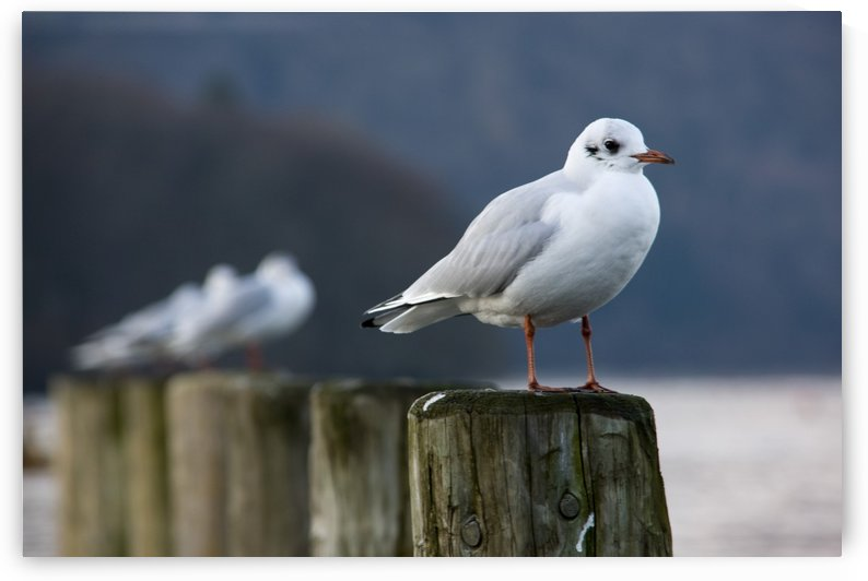Seagulls Sitting On Posts by PacificStock