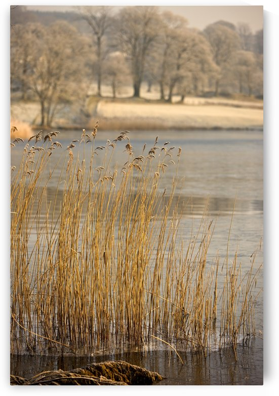 Frozen Water Around Reeds At Shoreline by PacificStock