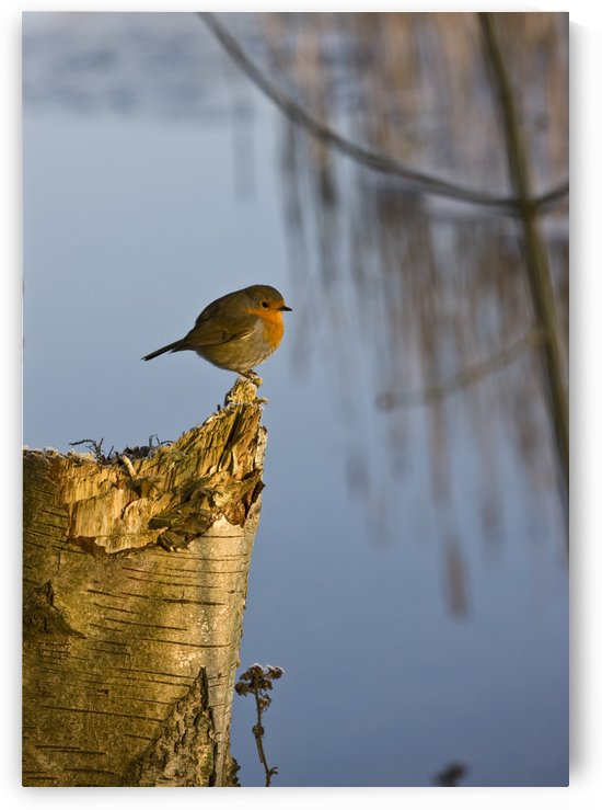 England; Robin Perched On Tree Trunk by PacificStock