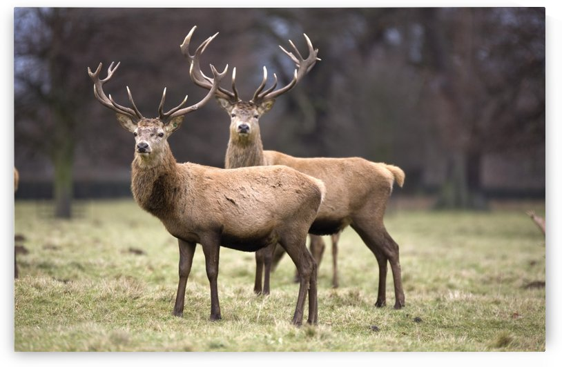 Yorkshire, England; Deer Standing In A Field by PacificStock