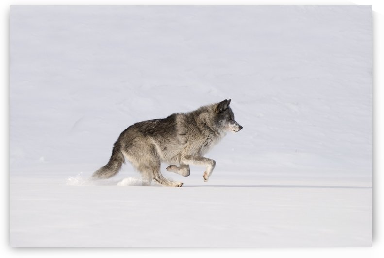 Wolf Running In The Snow by PacificStock