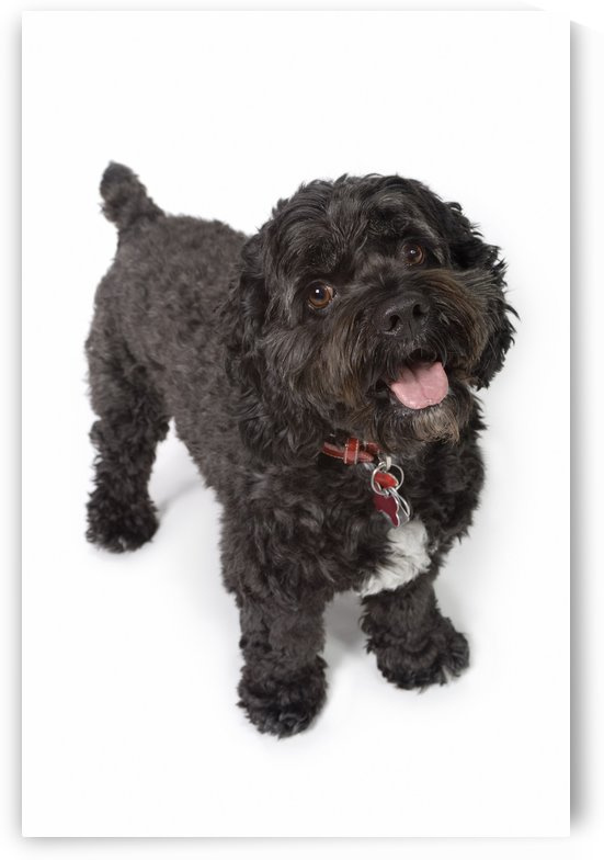 Black Bichon-Cocker Spaniel Dog by PacificStock