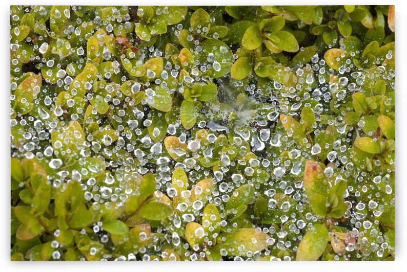 Dew On A Bush by PacificStock
