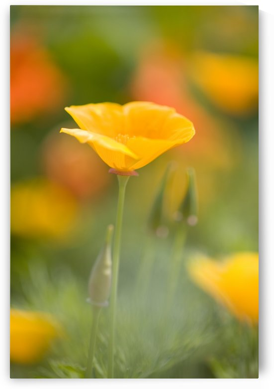 Poppy by PacificStock