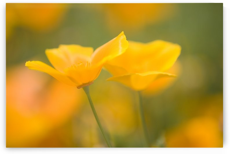 Yellow Poppy Flower, Mount Hood, Oregon, Usa by PacificStock