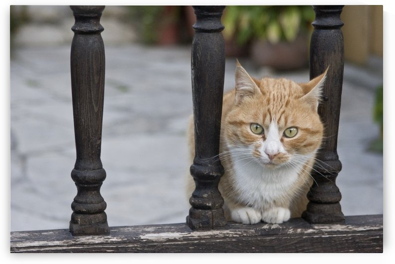 Cat Sitting Between Railings by PacificStock