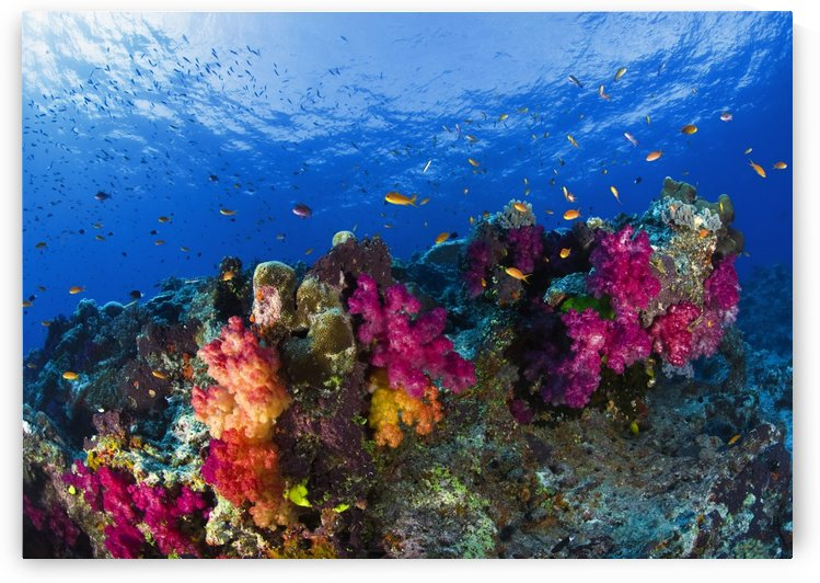 Soft Corals On Shallow Reef, Fiji by PacificStock