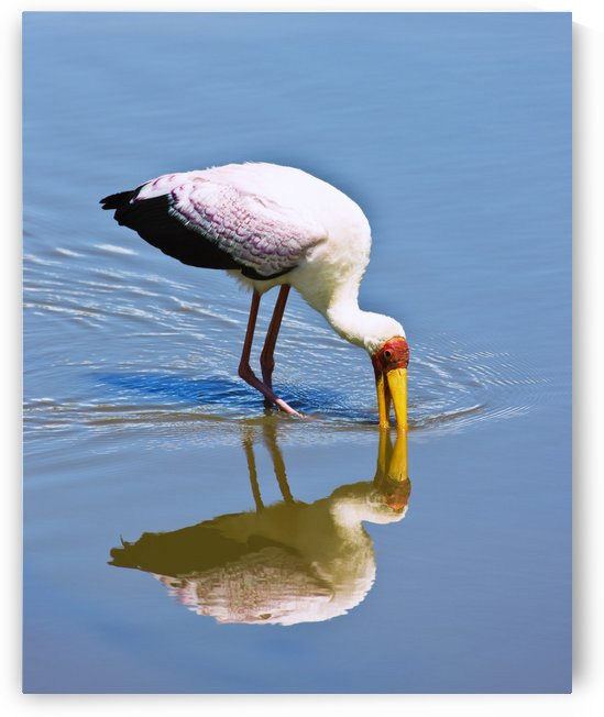 Ngorongoro Crater, Tanzania, Africa; Yellow-Billed Stork (Mycteria Ibis) by PacificStock