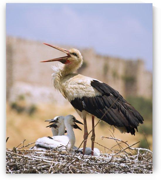White Stork (Ciconia Ciconia), Turkey by PacificStock