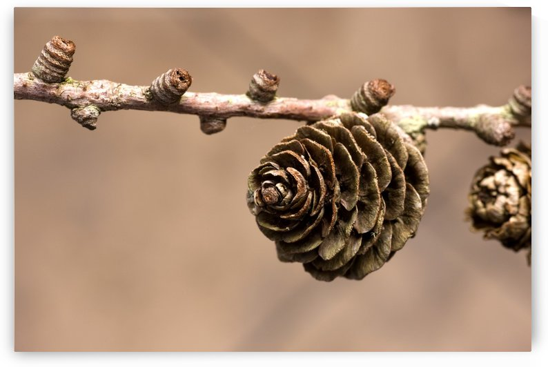 A Conifer Cone On A Tree Branch by PacificStock