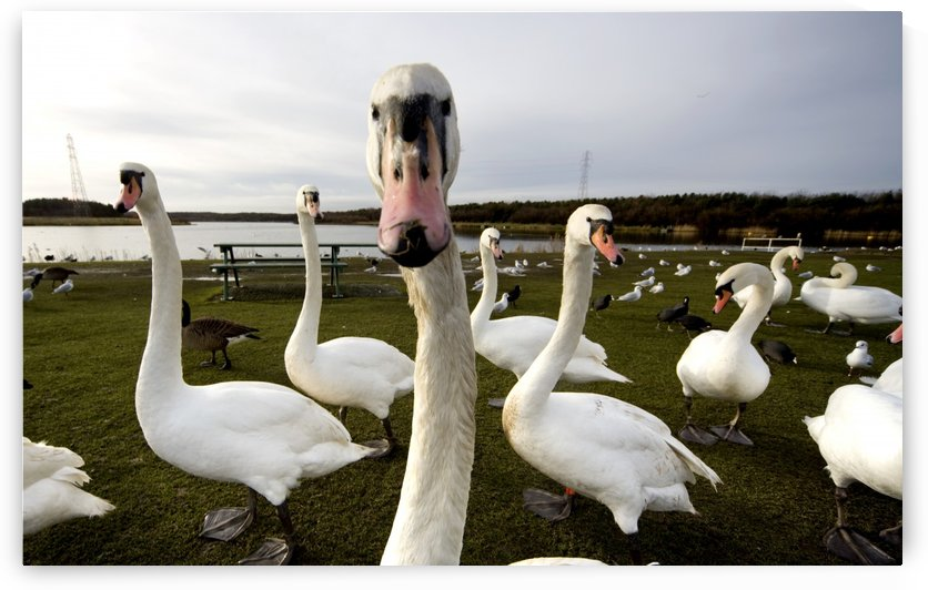 Large Flock Of Swan On Land by PacificStock