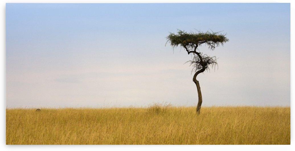 Masai Mara, Kenya; Lone Acacia Tree by PacificStock