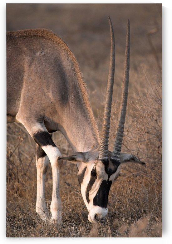 Oryx (Oryx Beisa), Samburu National Reserve, Kenya; Oryx by PacificStock
