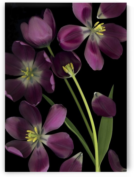 Purple Tulips; Purple Tulips, Leaves And Stems by PacificStock