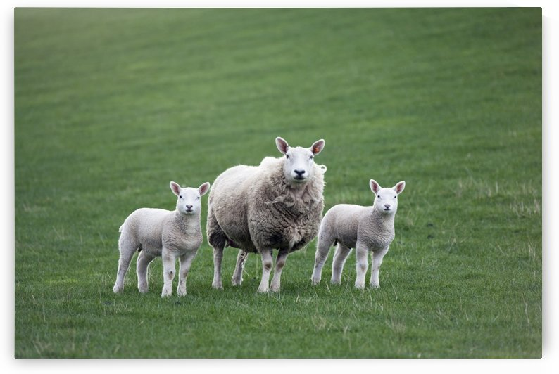 Mother Sheep And Lambs by PacificStock