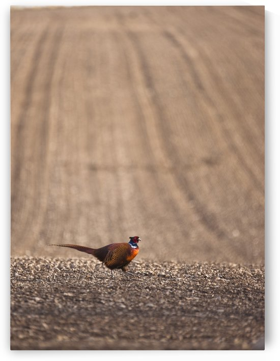 Pheasant Standing On The Ground by PacificStock
