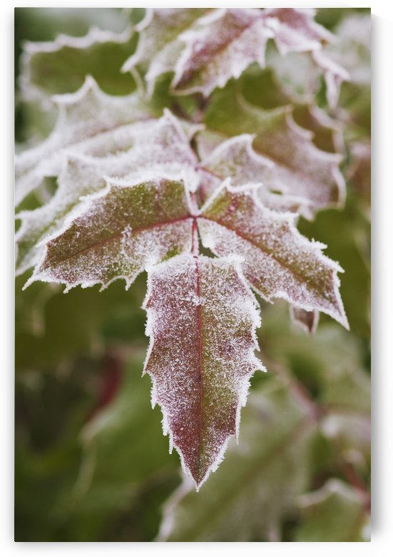 Frozen Leaves by PacificStock