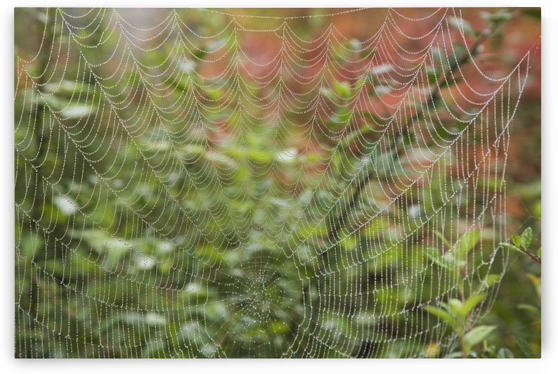 Detail Of Spider Web by PacificStock