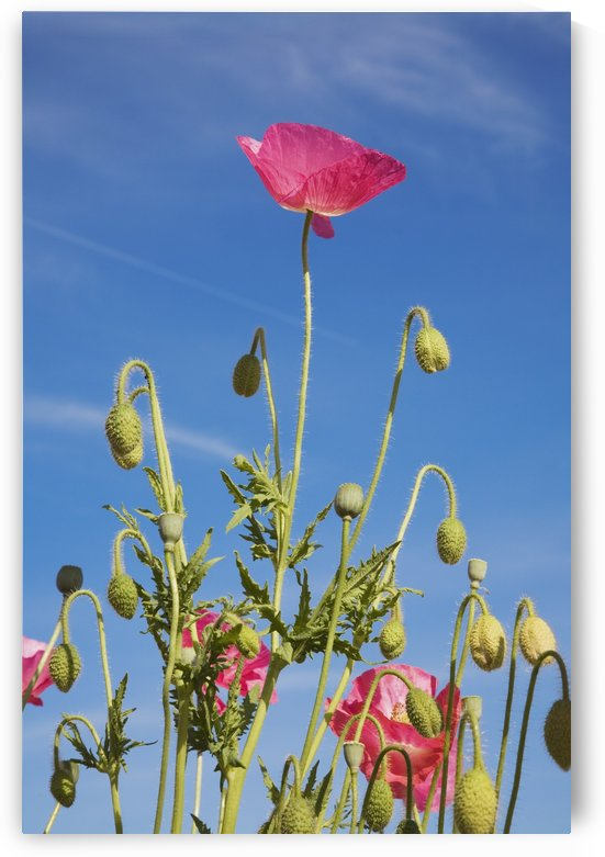 Red Flower Against Blue Sky by PacificStock
