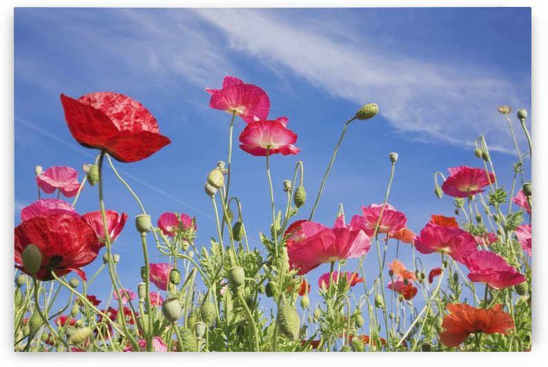 Red Flowers Against Blue Sky by PacificStock