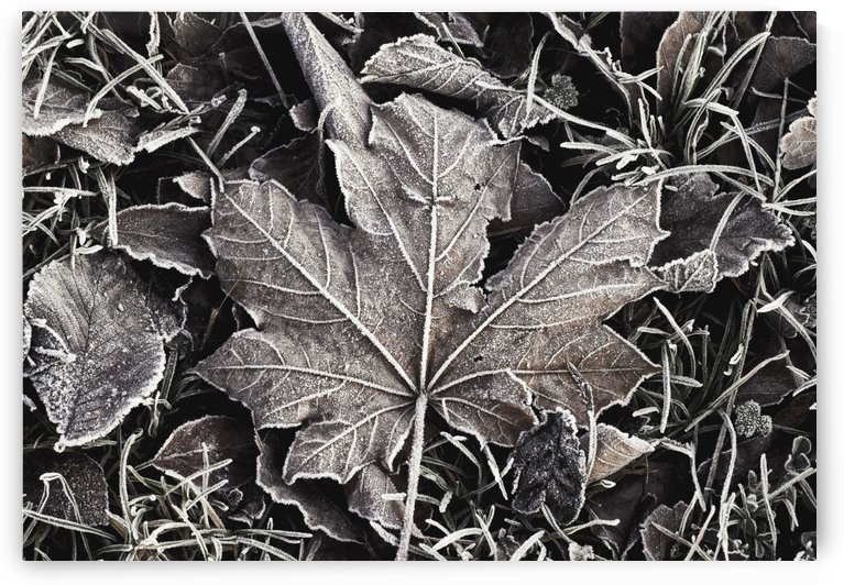Frost Covered Leaves by PacificStock
