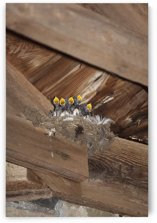 Swallow Chicks, Island Of Iona, Scotland by PacificStock