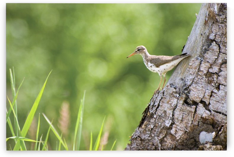Spotted Sandpiper On A Tree Trunk by PacificStock