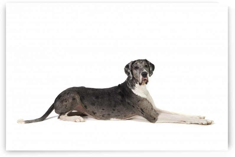 Great Dane Dog by PacificStock